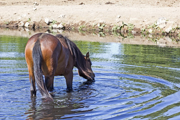 A wild horse drinking from a watering hole