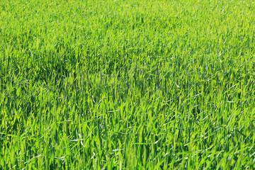 Spring Field of green Barley