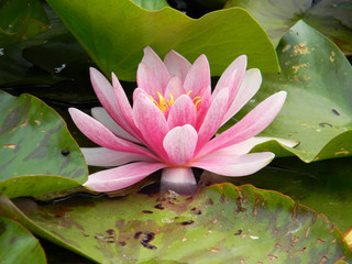 pink water lily detail