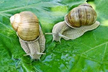 Two snails drink water on a background of green leaves.