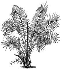 Plant Phoenix reclinata (Senegal Date Palm)