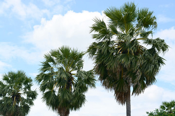 Sugar palm tree and blue sky