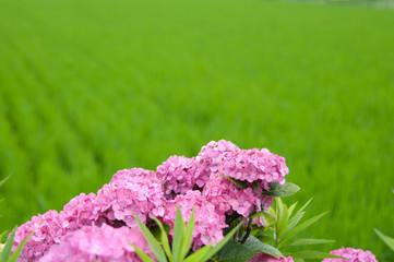 田んぼと紫陽花