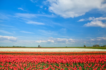 colorful tulip fields and windmill in spring
