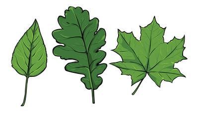 vector green leaves - poplar, oak, maple