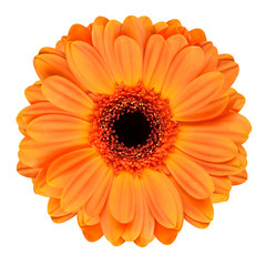 Garden Poster Gerbera Orange Gerbera Flower Isolated on White