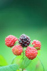 Black Raspberry Closeup