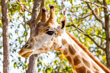 Giraffe in chiangmai night safari chiangmai Thailand