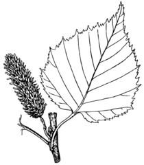 Branch of Plant Betula ulmifolia