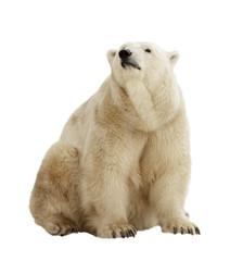 Fototapete -  polar bear. Isolated over white