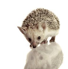 little hedgehog isolate on white