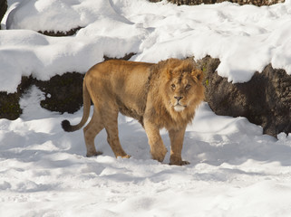 Zoo-lion in the snow