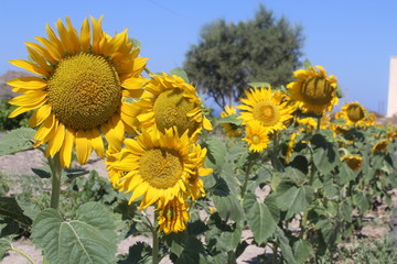 sunflower sunflowers flower floral