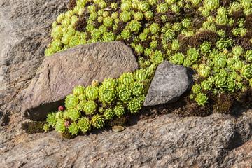 Steinbrechgewächse Pflanze auf Steinboden