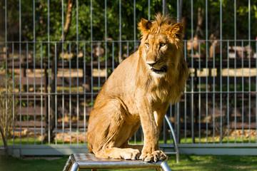 Young lion in chiangmai nightsafari chiangmai Thailand