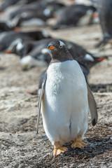 Fat Gentoo penguin.