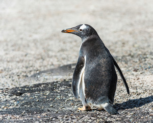 Gentoo penguin from the back.