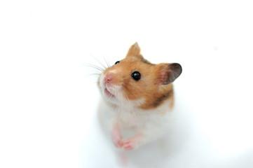 Syrian Golden Hamster