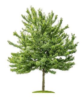 freigestellter Kirschbaum vor weißem Hintergrund