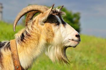 muzzle goat