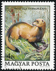 stamp printed in Hungary shows image of Mustela Evermanni