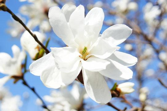 Delicate white magnolia flower closeup.