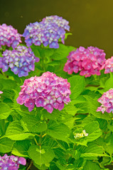 湖と紫陽花