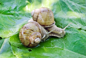Two large snails on the background of green leaves.