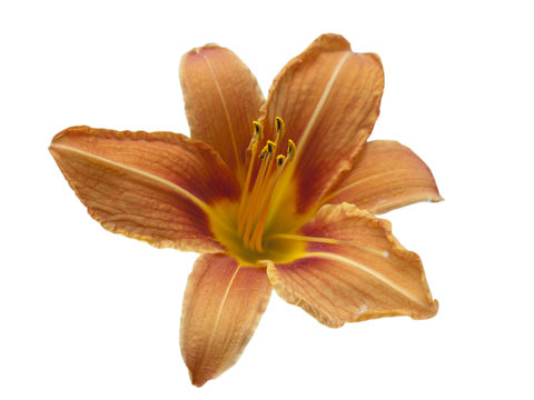 Isolated orange lily