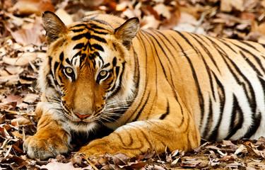 Large male Bengal tiger in Bandhavgarh National Park, India