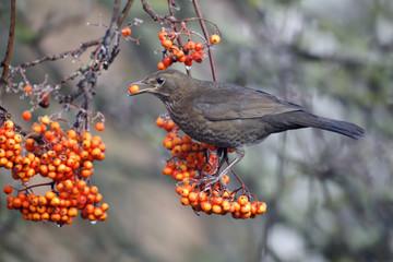 Fotoväggar - Blackbird, Turdus merula,  female rowan berries