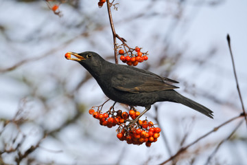 Fotoväggar - Blackbird, Turdus merula, male