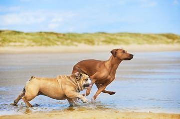 Two dogs english bulldog and rhodesian ridgeback dog running at