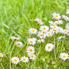 Fototapete - Endlich Frühling!, Gänseblümchen, Wiese, Bellis perennis