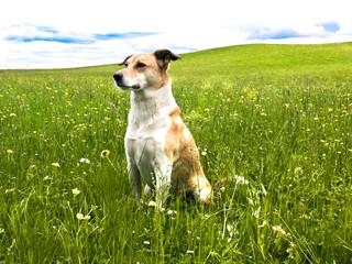 Hund in der Löwenzahn Wiese, Portrait, seitliche Vorderansicht,