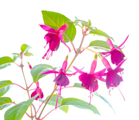 compact fuchsia isolated on white  background
