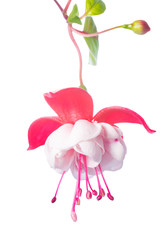 white  and pink fuchsia flower isolated on white background, Whi