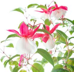 white  and pink fuchsia isolated on white background, White Eyes