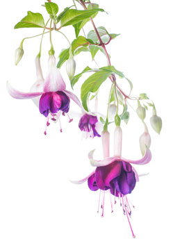 violet and pink fuchsia flower with bud isolated on white backgr