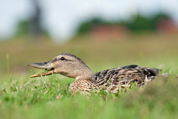 Female duck eating clover, one leaf in air