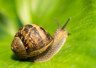 Close-up of a Snail on a green Leaf
