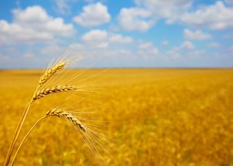 Ripening ears of wheat field in the style of bokeh