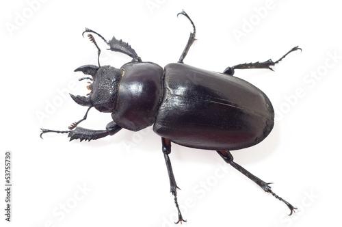 large black beetle