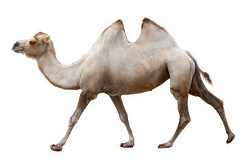 Walking camel isolated on a white background