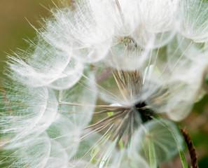 Fotorolgordijn Paardebloemen en water Large dandelion flowers parachutes