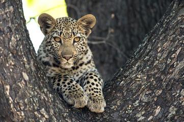 Baby leopard in a tree