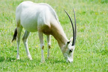 Scimitar horned oryx eating