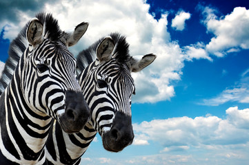 Zebra pair Wall mural