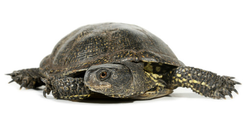Turtle tortoise terrapin