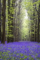 Fotobehang Pistache Vibrant bluebell carpet Spring forest landscape